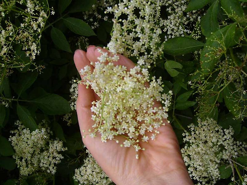 Elderflower 756