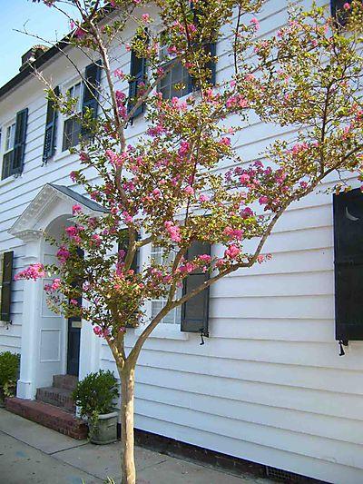 Tree in Charleston 23