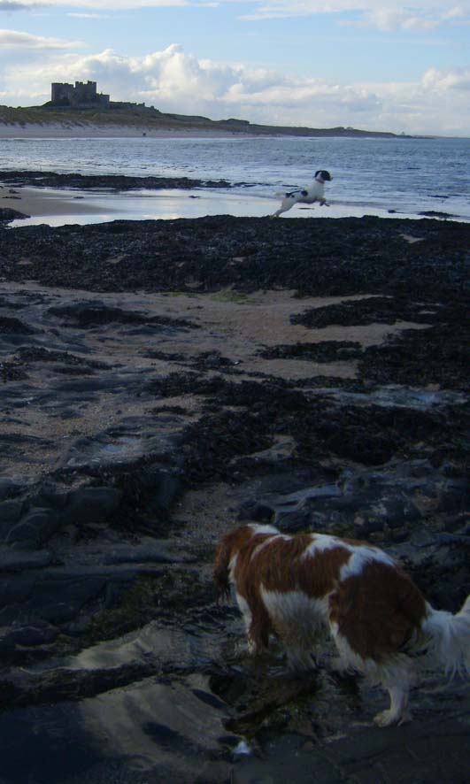 Spaniels at Bamburgh beach