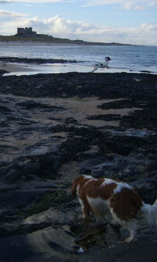 Spaniels at Bamburgh beach