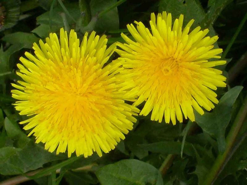 Yellow dandelion EM719