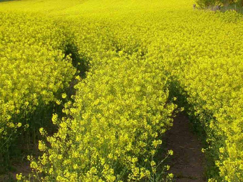 Yellow field in Stocksfield EM16