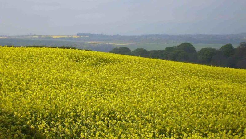 Yellow field in Stocksfield EM 715