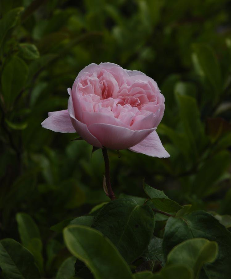 Pink rose em74