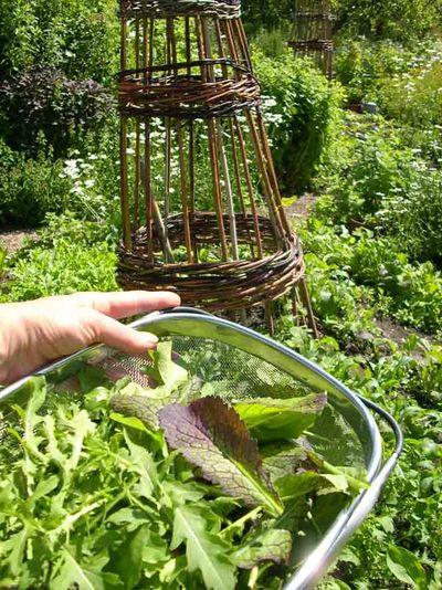 Salad leaves Stocksfield Hall garden72
