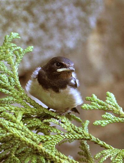 Baby swallow.helen morris