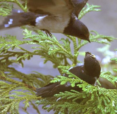 Swallows feeding 1