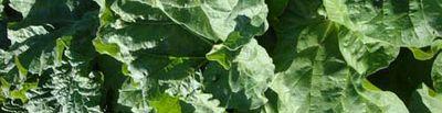 Rhubarb leaves99