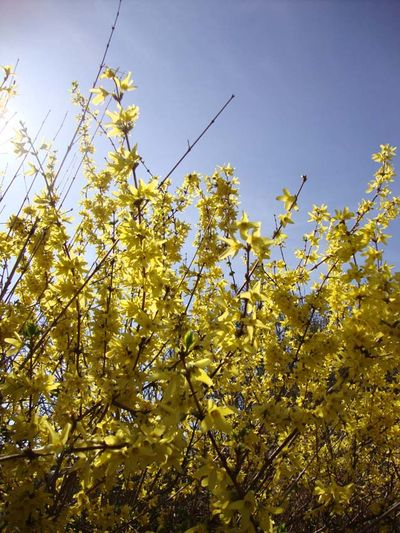 Forsythia in march 04