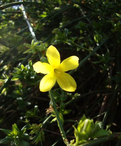 Winter jasmine 05