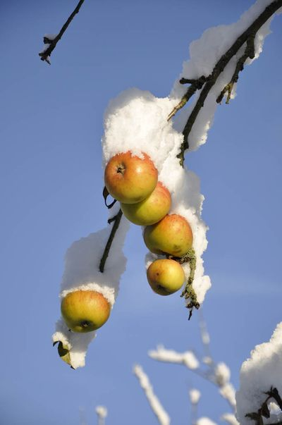 Snow apples20