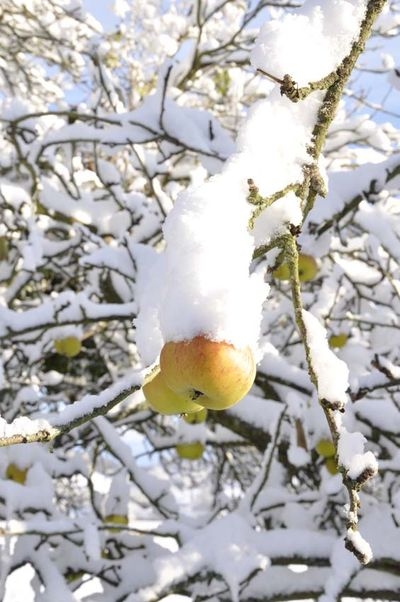 Snow apples 021