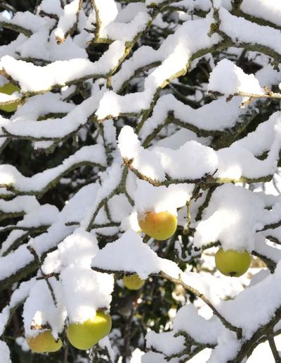 Snow apples 023