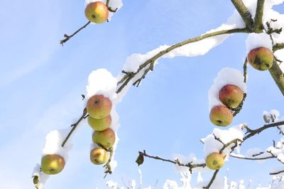 Apples in snow.028