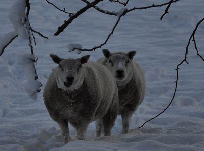 Sheep detail em52