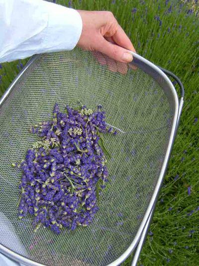 Harvesting lavender32