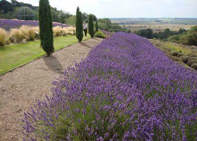 York lavender 159