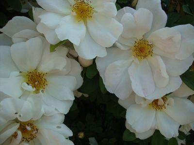 White roses 518