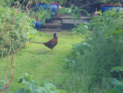 Pheasant blue pots 774