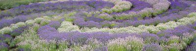York lavender em391