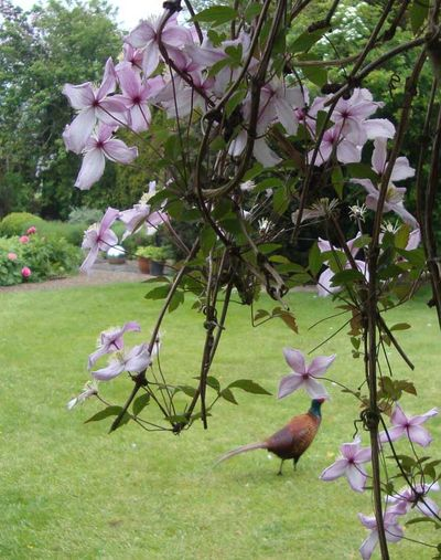 Clematis and pheasant 036