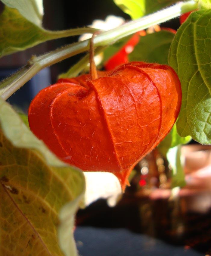 Physalis orange flower 42