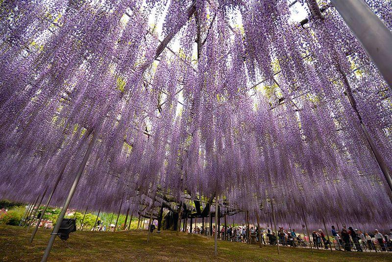 Wisteria in japan